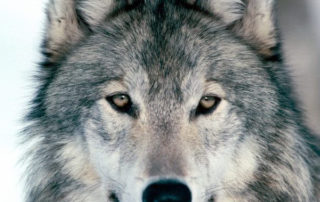 Myth: WOLVES IN THE WILD DO NOT LIVE AS LONG AS DOMESTIC DOGS BECAUSE OF THEIR DIET.