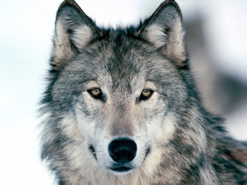 MYTH – Wolves In The Wild Do Not Live As Long As Domestic Dogs Because Of Their Diet